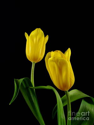 Poster featuring the photograph Yellow Tulips by Dariusz Gudowicz