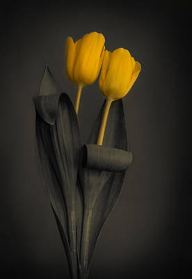 Yellow Tulips On A Grey Background Poster
