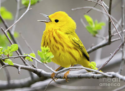 Yellow Warbler  Poster by Ricky L Jones