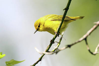 Yellow Warbler Poster by David Yunker