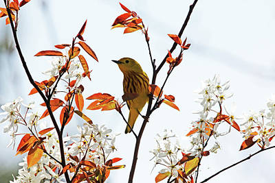 Yellow Warbler Poster by Debbie Oppermann