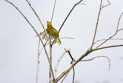 Yellow Warbler In Flight Poster