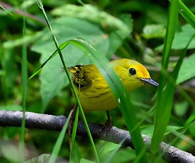 Yellow Warbler Poster by Kathy Eickenberg