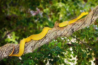 Yellow Wetar Island Tree Viper On Branch Poster by Susan Schmitz