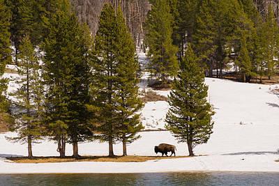 Yellowstone Buffalo Poster