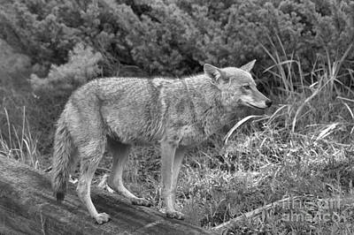 Yellowstone Coyote Black And White Poster by Adam Jewell