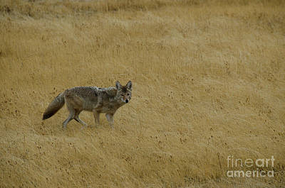 Poster featuring the photograph Yellowstone Coyote by Sue Smith