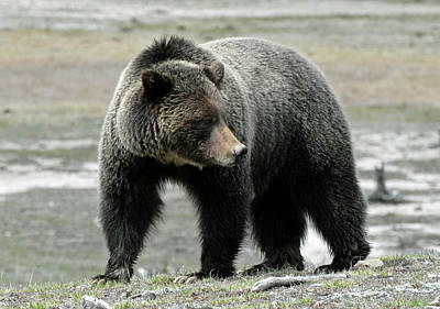 Poster featuring the photograph Yellowstone Grizzly A Pondering by Bruce Gourley