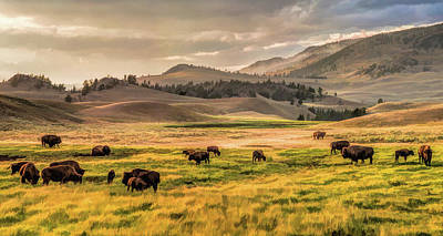 Poster featuring the painting Yellowstone National Park Lamar Valley Bison Grazing by Christopher Arndt