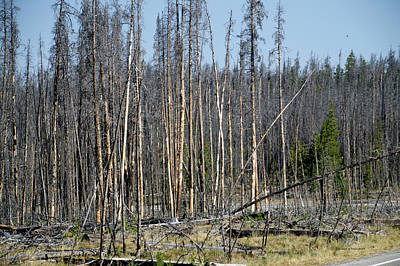 Yellowstone Park The Trees Many Years After The Fire 02 Poster by Thomas Woolworth