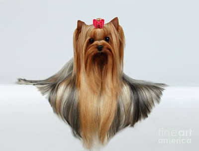 Yorkshire Terrier Dog With Long Groomed Hair Lying On White  Poster by Sergey Taran