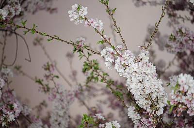 Yoshino Cherries Lavender Poster
