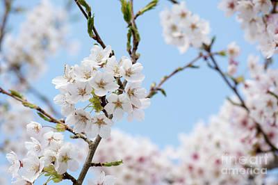Yoshino Cherry Blossom Poster by Tim Gainey