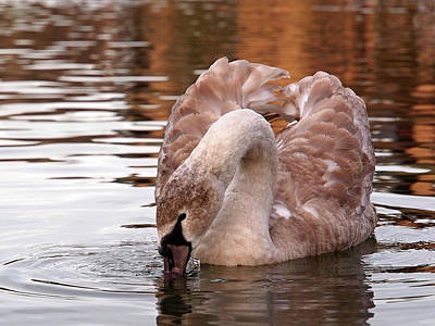 Young Beauty - Juvenile Mute Swan Poster by Gill Billington