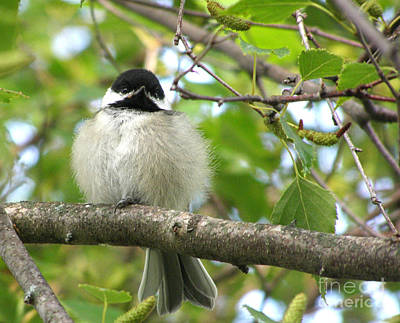 Poster featuring the photograph Young Black-capped Chickadee by Angie Rea