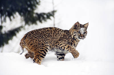 Young Bobcat Playing In Snow Poster