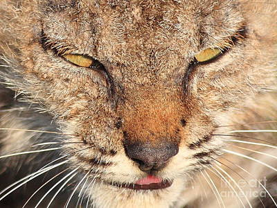 Young Bobcat Portrait 01 Poster by Wingsdomain Art and Photography