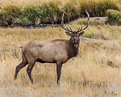 Young Bull Elk Poster by Dawn Key