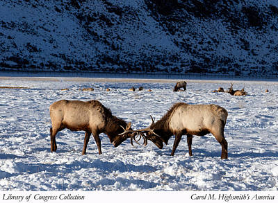 Young Bull Elk In Jackson  Hole In Wyoming Poster by Carol M Highsmith