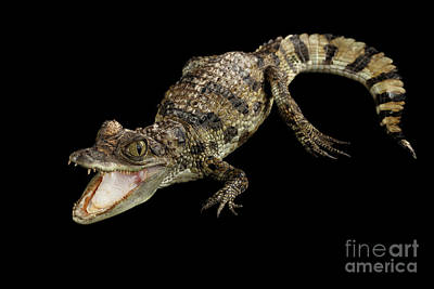 Young Cayman Crocodile, Reptile With Opened Mouth And Waved Tail Isolated On Black Background In Top Poster by Sergey Taran