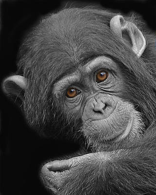 Young Chimpanzee Poster