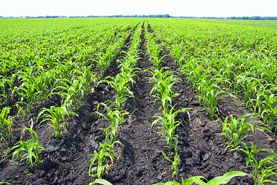 Young Corn Field Poster