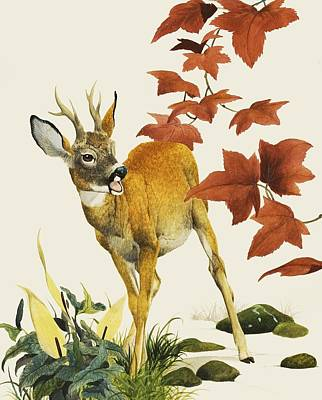 Young Fallow Deer Poster by English School