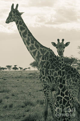 Young Giraffe With Mom In Sepia Poster by Darcy Michaelchuk