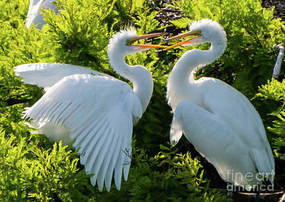 Young Great Egrets Playing Poster