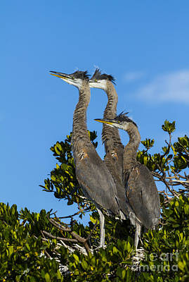 Young Herons In Nest Poster