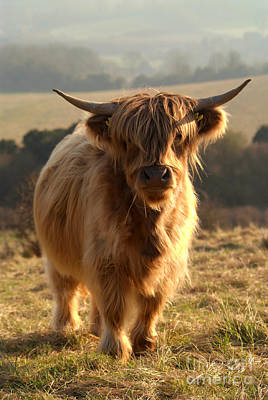 Young Highland Cow Poster by Serena Bowles