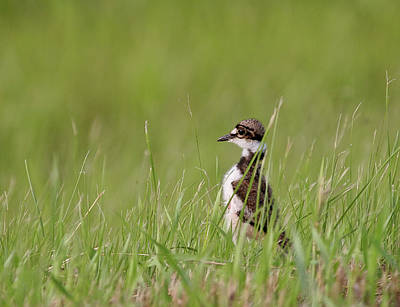 Young Killdeer In Grass Poster by Mark Duffy