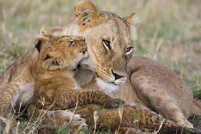 Young Lion Cub Nuzzling Mom Poster