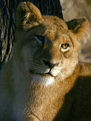 Poster featuring the photograph Young Lion by Karen Zuk Rosenblatt