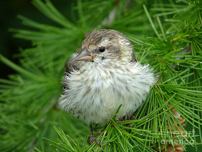 Young Pine Siskin Poster
