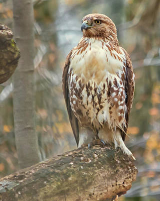 Young Red Tailed Hawk  Poster