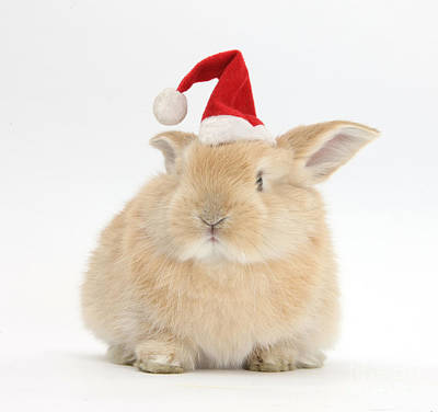Young Sandy Rabbit Wearing A Christmas Poster