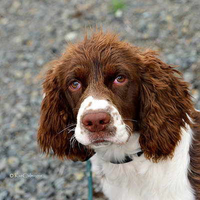 Young Water Spaniel Poster