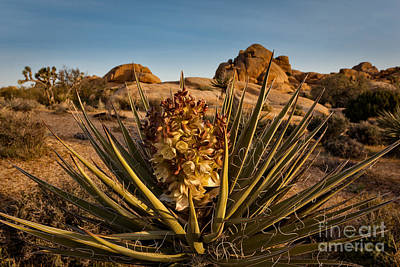 Yucca Bloom Poster