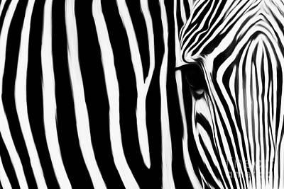 Zebra 032 Poster by Gull G