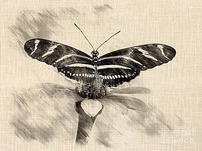 Zebra Butterfly Sketch Poster by Liz Masoner