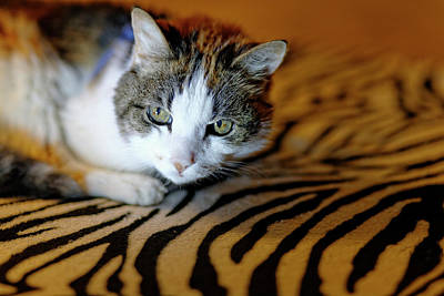 Zebra Cat Poster