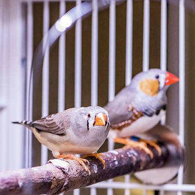 Zebra Finch Pair Poster