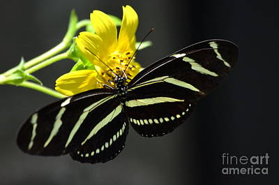 Zebra Heliconian Butterfly Poster