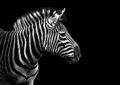 Zebra In Black And White Poster by Malcolm MacGregor