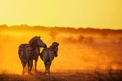 Zebra In The Light Poster by Ben Mcrae
