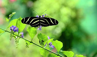 Poster featuring the photograph Zebra Longwing Butterfly by Corinne Rhode