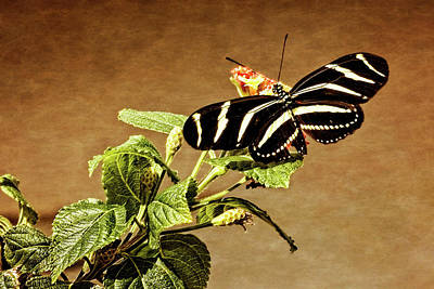 Poster featuring the photograph Zebra Longwing by Dawn Currie