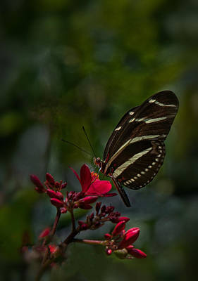 Zebra Longwing On Red Flower Poster