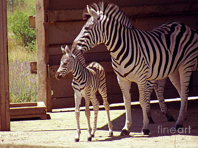 Zebra Mom And Baby Poster by Methune Hively